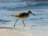Closeup of a Willet on a Beach, Sanibel Island, Florida Photographie par Tim Laman