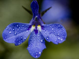 Close View of Droplets of Water on a Blue Flower, Groton, Connecticut Photographic Print by Todd Gipstein
