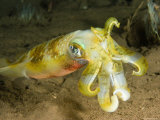 Closeup of a Bigfin Reef Squid, Bali, Indonesia Fotografisk tryk af Tim Laman