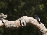 Acorn Woodpecker on a Tree Branch, California Photographic Print by Rich Reid