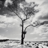 Lone Tree no. 2, Peak District, England Posters by Dave Butcher