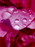 Close View of Droplets of Water on a Pink Peony Bloom, Groton, Connecticut Photographic Print by Todd Gipstein