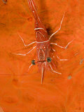Closeup of a Hingebeak Shrimp, Bali, Indonesia Photographic Print by Tim Laman