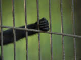 Celebes Macaque Holds the Bars of his Zoo Cage, Henry Doorly Zoo, Nebraska Stampa fotografica di Sartore, Joel