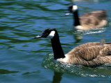 Blurred View of Geese Photographic Print by Stacy Gold
