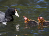 American Coot Adult with Chicks, San Diego, California Photographie par Tim Laman