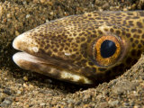Closeup of a Snake Eel, Bali, Indonesia Photographic Print by Tim Laman