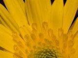Closeup of a Yellow Chrysanthemum Flower, Lexington, Massachusetts Photographic Print by Tim Laman