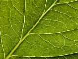 Close View of a Hydrangea Leaf, Groton, Connecticut Impresso fotogrfica por Todd Gipstein