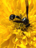 Close View of an Insect at the Center of a Yellow Flower, Groton, Connecticut Photographic Print by Todd Gipstein