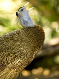 Closeup of a Male Argus Pheasant Calling Photographic Print by Tim Laman