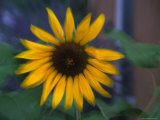Blurred View of a Daisy, Washington, D.C. Photographic Print by Stacy Gold