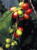 Coffe Bean Branches Grow on the South Kona Coast, Big Island, Hawaii Photographic Print by Richard Nowitz