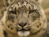 Closeup of a Captive Snow Leopard, Massachusetts Photographic Print by Tim Laman