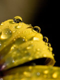 Close View of Water Droplets on a Yellow Flower, Groton, Connecticut Photographic Print by Todd Gipstein