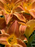 Close View of Orange Daylilies, Groton, Connecticut Photographic Print by Todd Gipstein