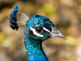 Closeup Portrait of a Peacock Photographic Print by Tim Laman