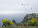 Brown Pelicans Fly over Santa Cruz Island, California Fotografisk tryk af Rich Reid