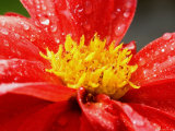 Close View of a Red Dahlia, Groton, Connecticut Photographic Print by Todd Gipstein