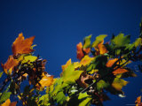 Colorful View of Maple Leaves in Autumn, Pittsburgh, Pennsylvania Photographic Print by Stacy Gold
