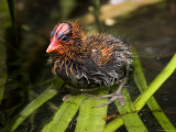 Closeup of an American Coot Chick, San Diego, California Photographie par Tim Laman