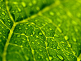 Close View of Droplets of Water on a Leaf, Groton, Connecticut Photographic Print by Todd Gipstein