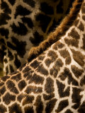 Closeup of Two Masai Giraffes Photographic Print by Tim Laman