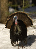 Closeup of an Adult Male Wild Turkey Displaying, Lexington, Massachusetts Photographic Print by Tim Laman