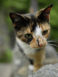 Calico Cat with Green Eyes Walks to the Camera Photographic Print by Stephen Alvarez