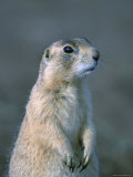Black-Tailed Prairie Dog in Howes, South Dakota Fotografisk tryk af Joel Sartore