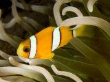 Closeup of a Clark's Anemonefish, Bali, Indonesia Fotografisk tryk af Tim Laman
