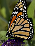 Close View of a Monarch Butterfly on a Purple Flower, Groton, Connecticut Photographic Print by Todd Gipstein