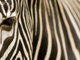 Closeup of a Grevys Zebra's Face and Coat Fotoprint van Tim Laman