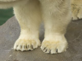 Close-Up of a Juvenile Polar Bear Paws Reveal Tiny Claws, Henry Doorly Zoo, Nebraska Photographic Print by Joel Sartore