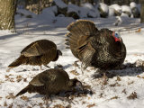Adult Male Wild Turkey Displays to Females, Lexington, Massachusetts Photographic Print by Tim Laman