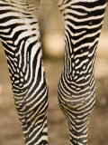 Closeup of a Grevys Zebra's Legs Photographic Print by Tim Laman
