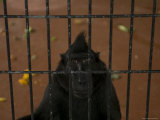Celebes Macaque Looks Out from its Cage at the Zoo, Henry Doorly Zoo, Nebraska Stampa fotografica di Sartore, Joel