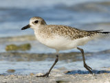 Closeup of a Black-Bellied Plover, Sanibel Island, Florida Photographic Print by Tim Laman
