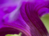 Close View of Purple Petunia, Groton, Connecticut Photographic Print by Todd Gipstein