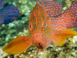 Closeup of a Spinecheek Anemonefish, Bali, Indonesia Fotografisk tryk af Tim Laman