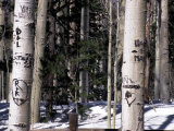 Aspen Tree Trunks Photographic Print by Stacy Gold