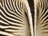 Closeup of a Grevys Zebra's Rear End Photographic Print by Tim Laman