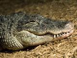 American Alligator Shows his Teeth as He Lays on Wood Chips, Henry Doorly Zoo, Nebraska Photographic Print by Joel Sartore