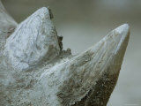 Close-Up View of a White Rhino's Muddy Horns, Henry Doorly Zoo, Nebraska Photographic Print by Joel Sartore
