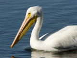 Closeup of an American White Pelican, Sanibel Island, Florida Photographic Print by Tim Laman