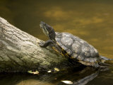 Closeup of an Unidentified Turtle Swimming to a Log, Singapore Photographic Print by Tim Laman