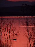 Canada Goose on a Placid Lake at Sunset, Pennsylvania Photographie par Ira Block