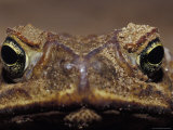Close-Up of a Scowling, Grumpy, Ugly Cane Toad's Face, Australia Photographic Print by Jason Edwards