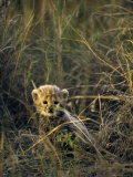 Cheetah Cub Less Than 3 Months Old Hides in the Tall Savannah Grass Photographic Print by Jason Edwards