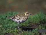 Closeup of a Pacific Golden-Plover, Hawaii Photographic Print by Rich Reid